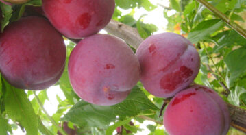 Pruning out the genetics of plums